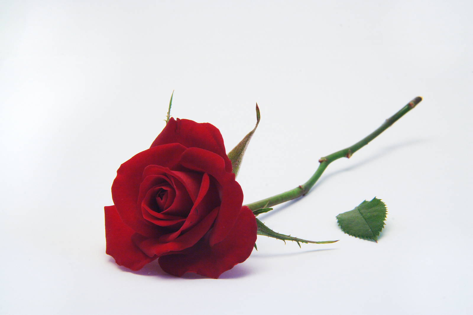 rose rms 09